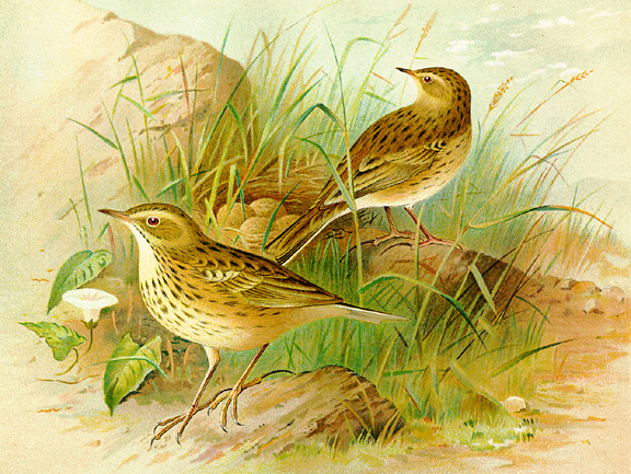 Color illustration of meadow pipits, larger version.