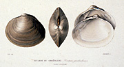 Gaimard lithograph of seashells, small version.