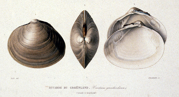 Gaimard lithograph of seashells, larger version.