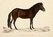 Color lithograph of Icelandic horse, small version.