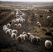 Color photo of sheep, small version.
