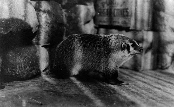 Image of Badger
